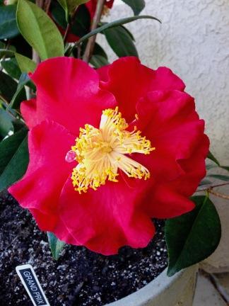 Camellia j. Grand Prix