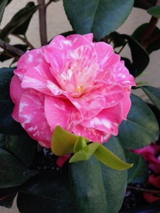 Camellia j. Sue Kendall