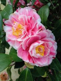Camellia j. Jordan's Pride