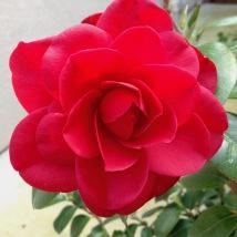 Camellia j. Nuccio's Bella Rossa