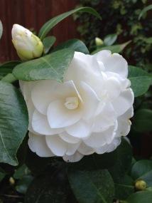 Camellia j. Nuccio's Gem
