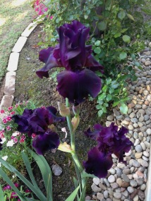 Iris Night Ruler