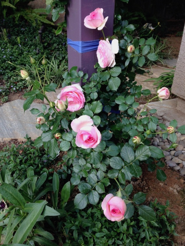 Climbing Rose Eden Spring 2014