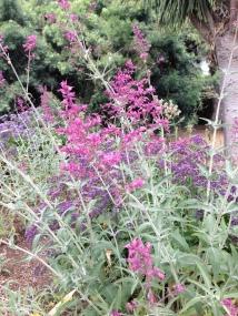 Lovely salvia-cultivar unknown