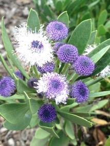 Globularia salicina-I want this!