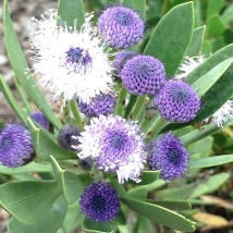 Globularia salicina-I want this!