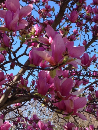 In praise of spring blooming trees queen of the dirt are generally smaller in mature height and are often seen locally as multi trunked large shrubs while there are cultivars with pink flowers mightylinksfo