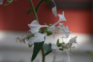 Clarkia elegans