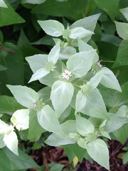 Pyncnanthenum muticum