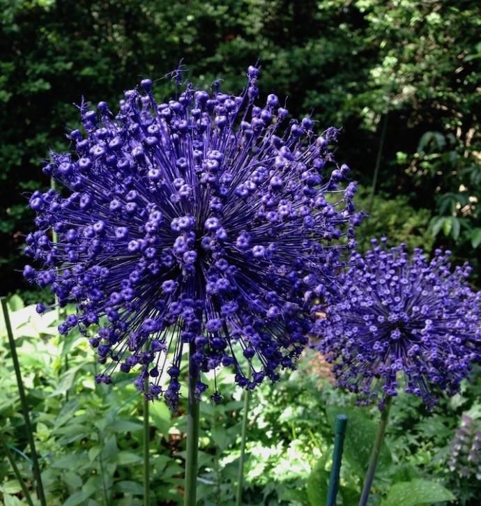 Allium bascadore