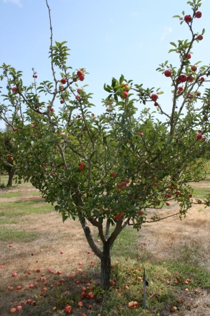 Apple 'Foxwhelp'