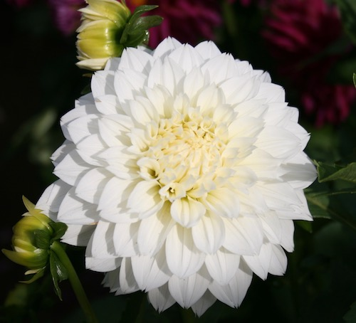 Dahlia 'Gits Attention'