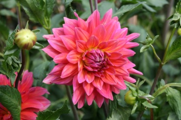 Dahlia 'Fire Magic'