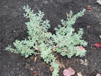 Leucophyllum langmaniae 'Lynn's Everblooming'