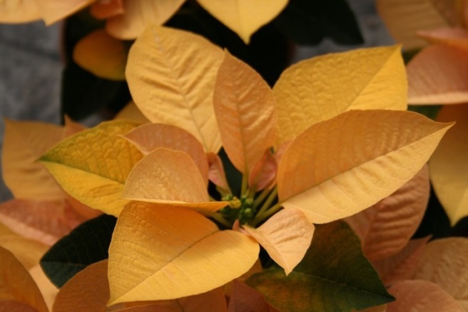 Poinsettia 15