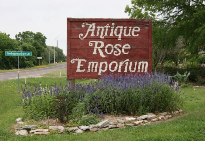 Ant Rose Emp 37