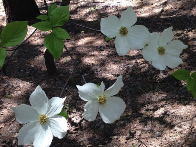 Dogwood Day 3