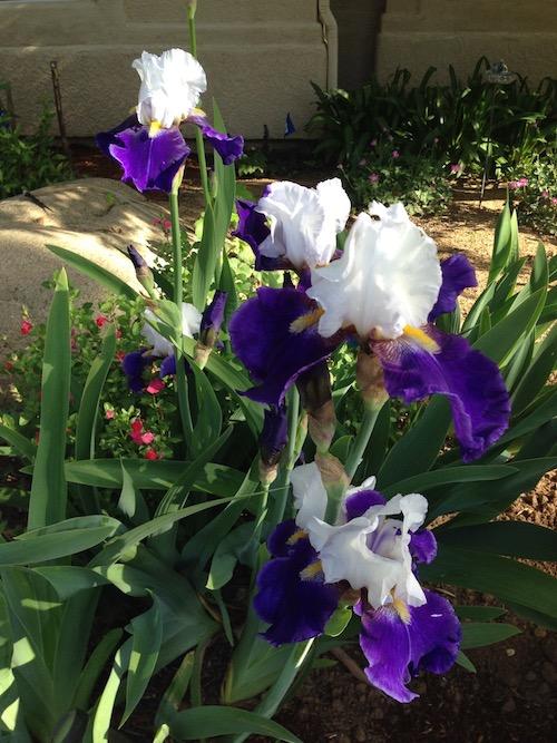 Iris 'Mariposa Skies'