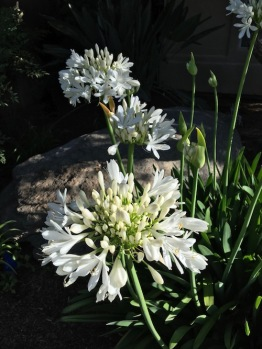 Agapanthus unknown white cultivar