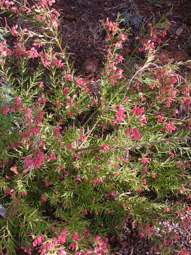 grevillea rosemarianus 1