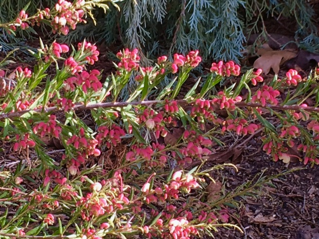 grevillea rosemarianus 2