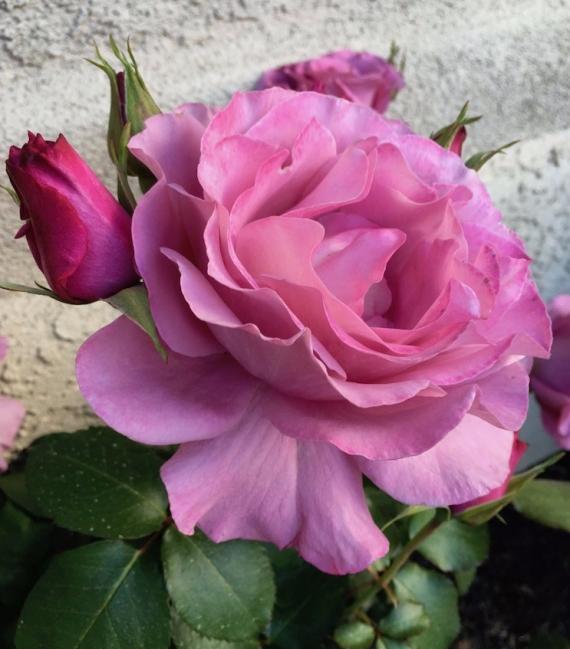 2019-first-rose-1.jpg